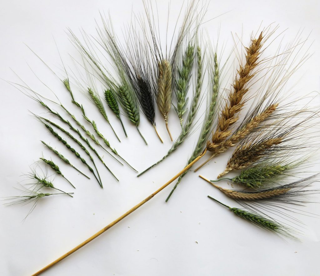 Wheat-diversity-species-fan-ID-3
