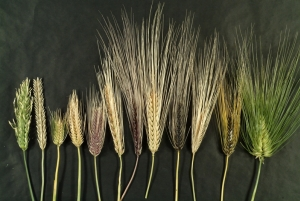 Diversity_of_six_rows_Barley