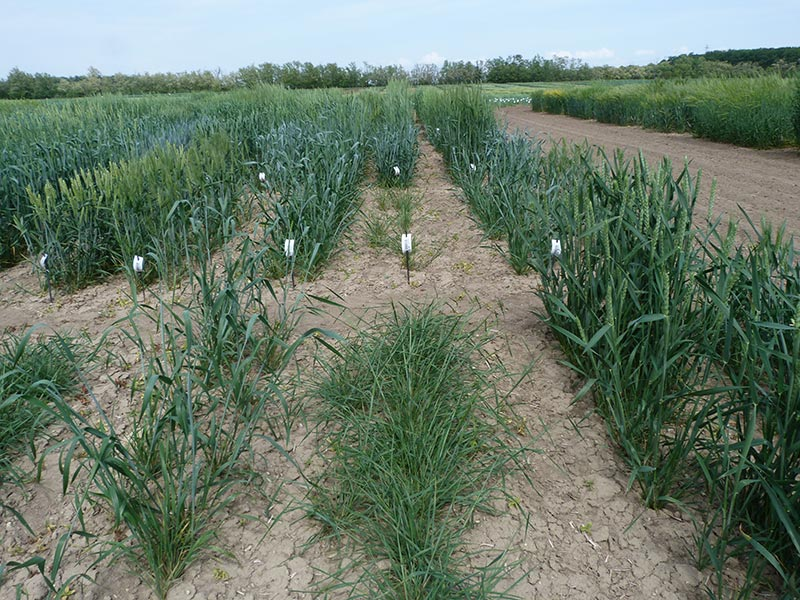 Example of genetic diversity between different wheat accessions